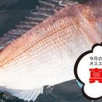 5月のオススメ釣魚:真鯛(タイラバ)、アオリイカ、チヌ