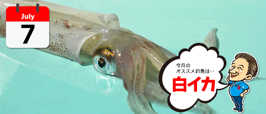 わたなべ オススメ釣魚「白イカ」