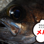 11月のオススメ釣魚はメバル、グレ、タチウオ