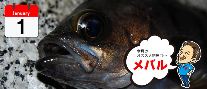 1月のオススメ釣魚は、メバル、真鯛(タイラバ)、グレ