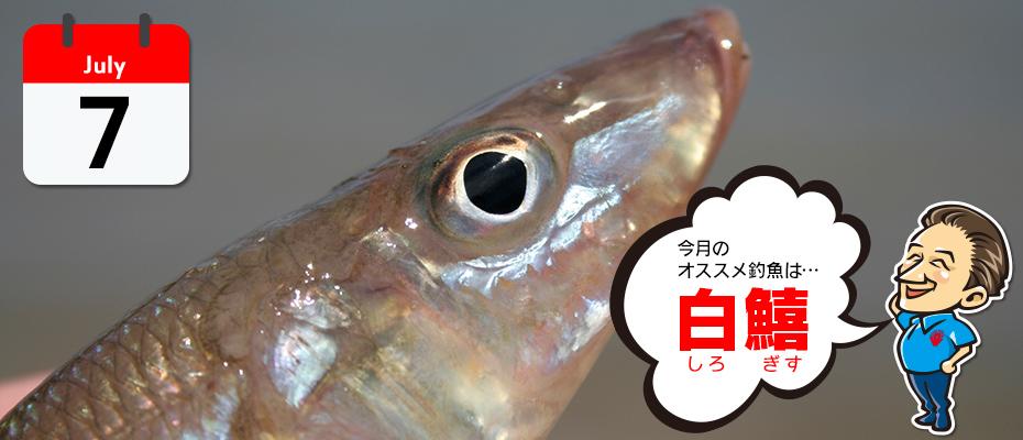 7月のオススメ釣魚は、白鱚、白イカ、うなぎ