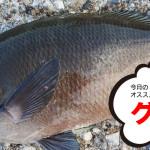 11月のオススメ釣魚はグレ、メバル、タチウオ