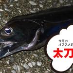 12月のオススメ釣魚はタチウオ、グレ、メバル
