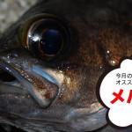 1月のオススメ釣魚はメバル、グレ