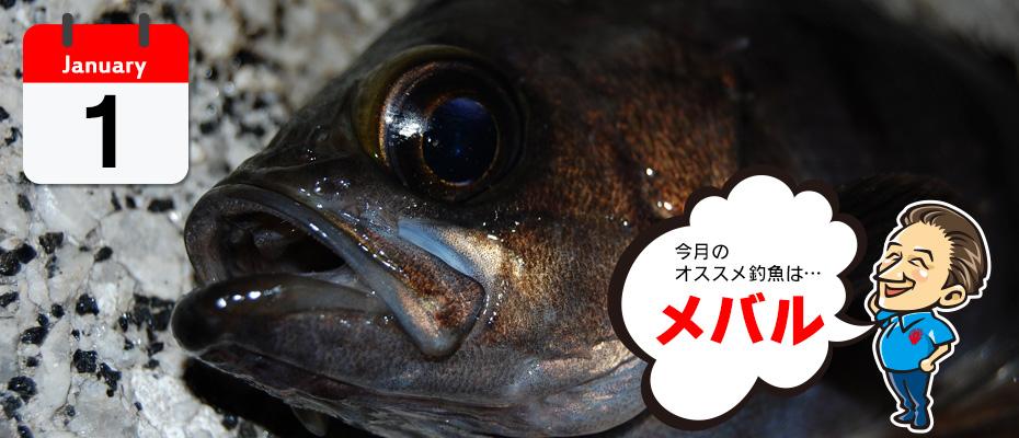 オススメ釣魚「メバル」