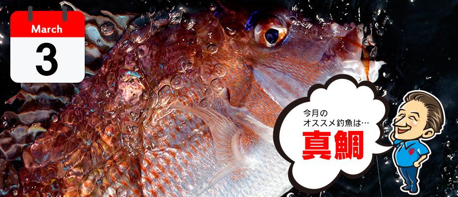 3月のオススメ釣魚「真鯛」