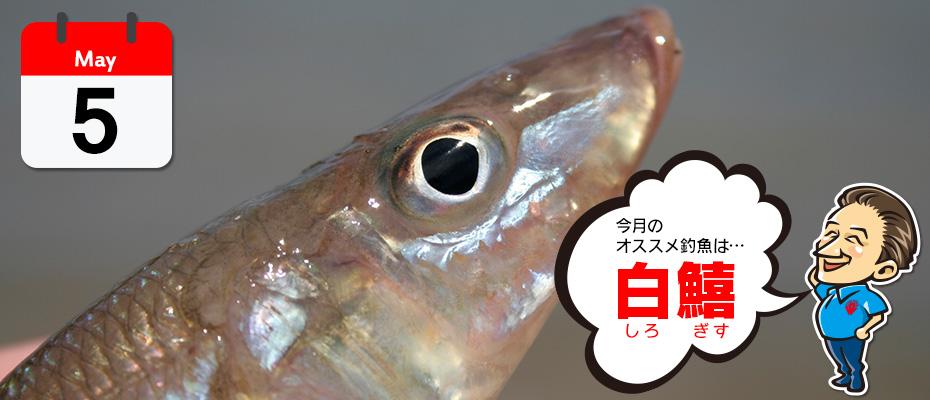わたなべ オススメ釣魚「白鱚(しろぎす)」