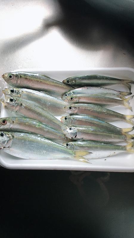 ママカリ釣り